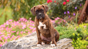 German Dog Breeds – The Greatest German Pet Pooches