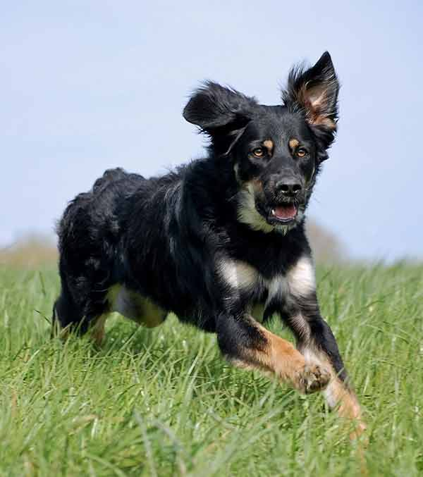 The German Shepherd Bernese Mountain Dog mix