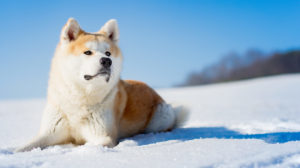 Japanese Dog Breeds – Amazing Dogs All The Way From Japan