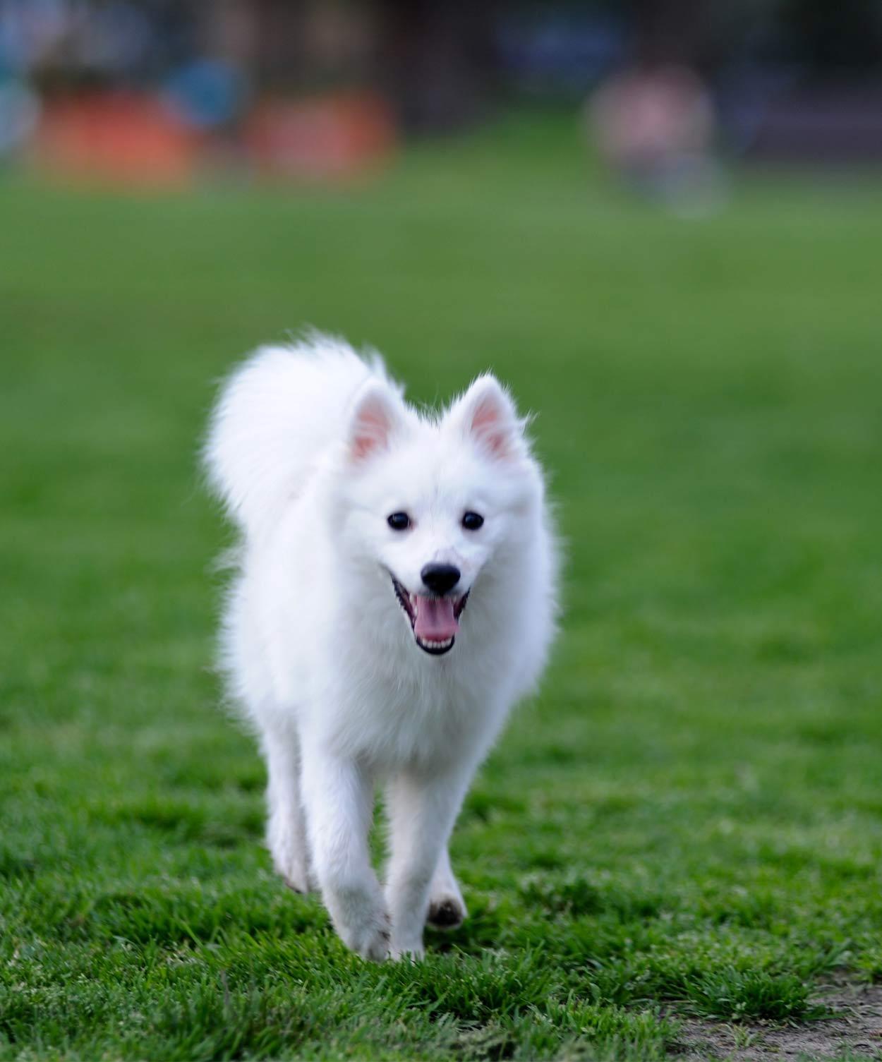 Japanese dog breeds