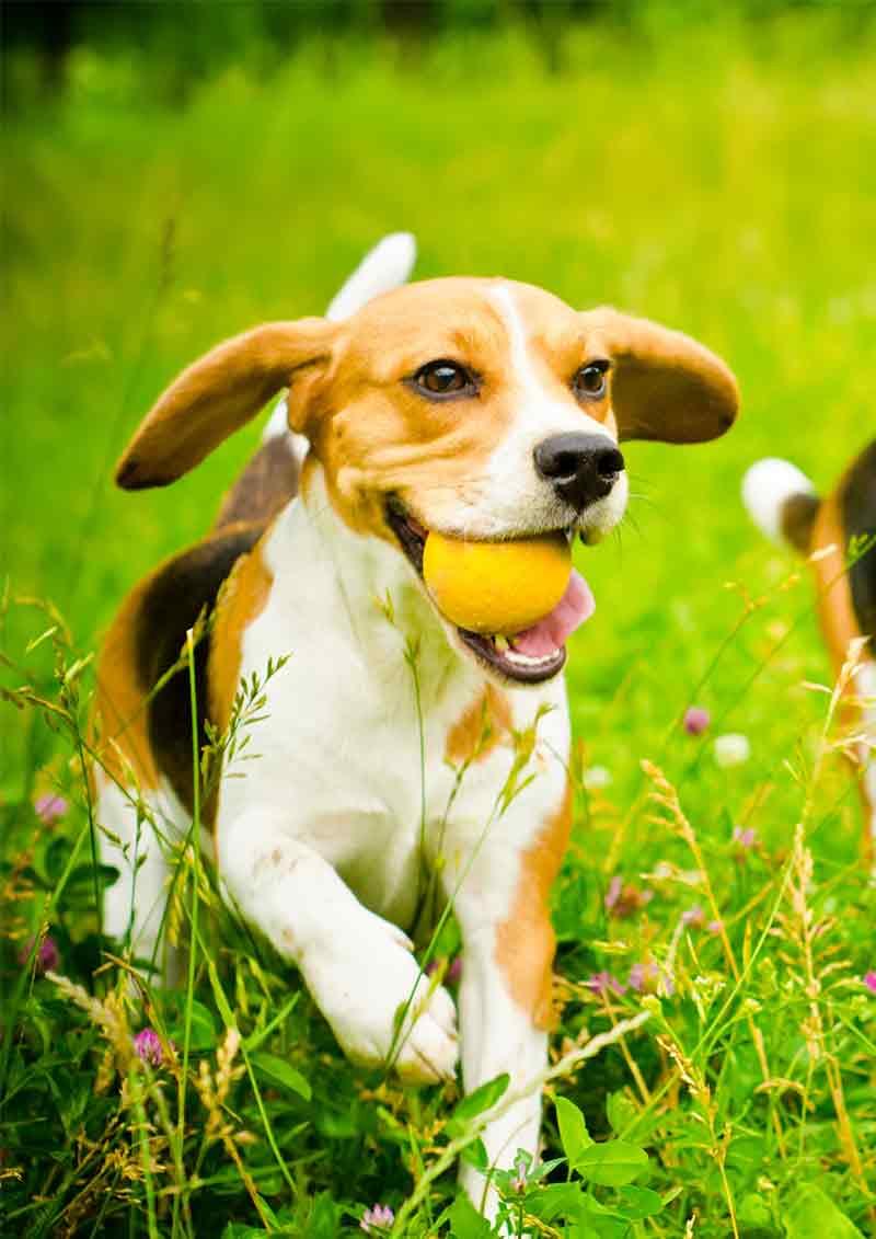 neem oil for dogs