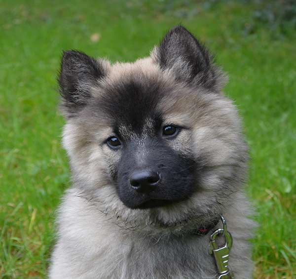 German Shepherd Pomeranian mix