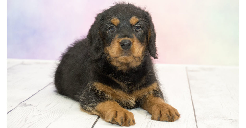 Rottle - Have You Fallen For The Rottweiler Poodle Mix?