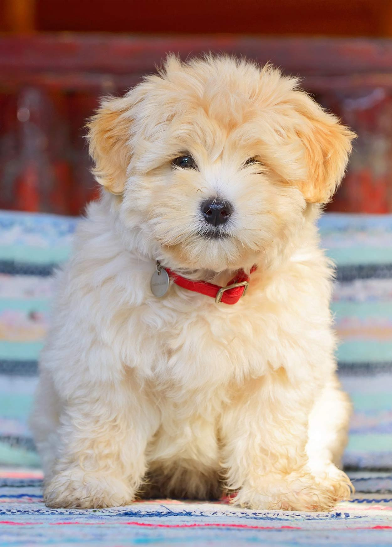 Toy Dog Breeds Which Tiny Pup Should