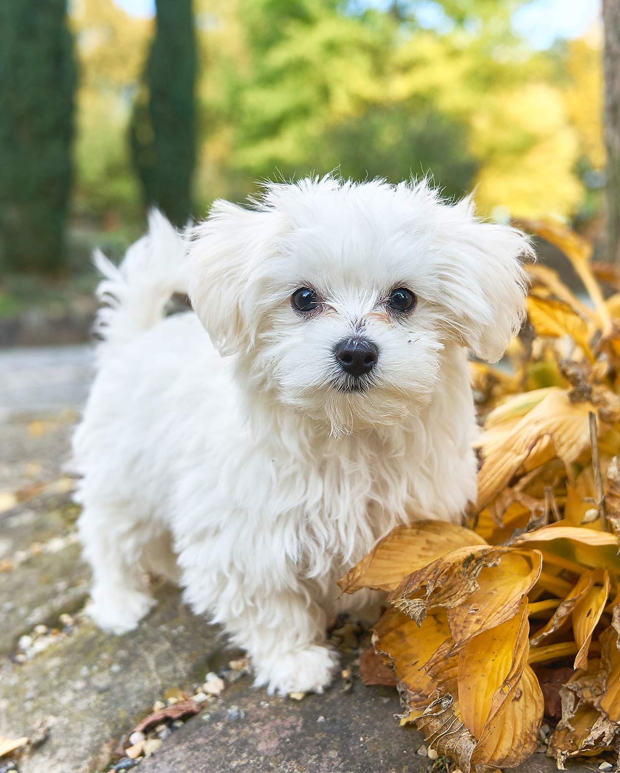 italian dog breeds - maltese