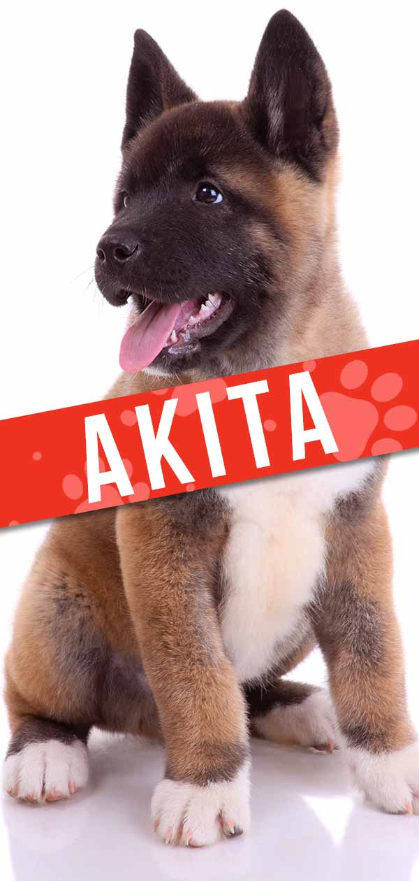 Akita Dog Breed Information Center - A Complete Guide To The Akita