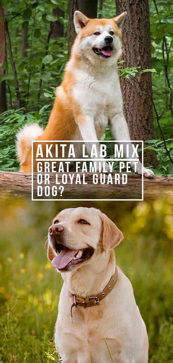 Akita Lab Mix – Great Family Pet or Loyal Guard Dog?