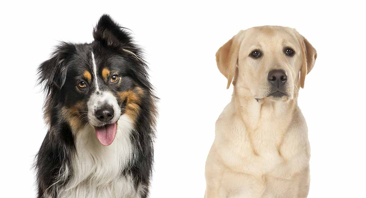 australian shepherd lab mix breed information center