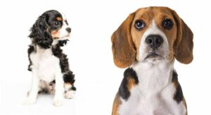 Beaglier Dog - The Cavalier King Charles Spaniel Beagle Mix