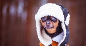 Chihuahua Clothes – The Best Coats And Outfits For Chihuahua Dogs