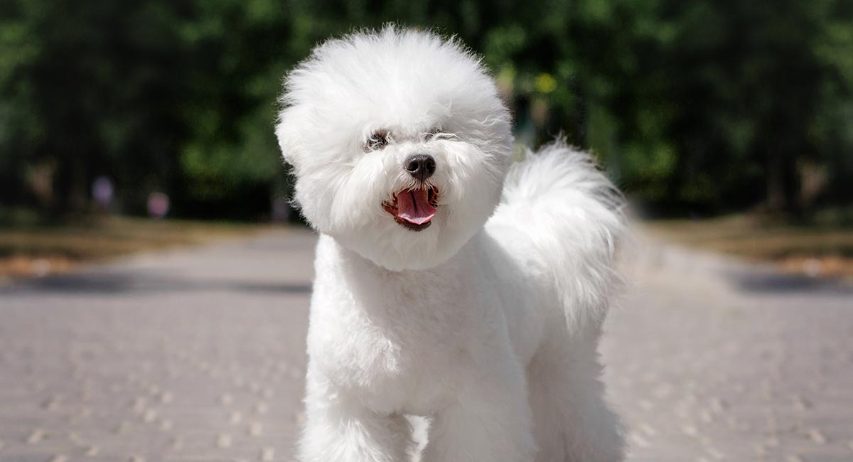 Bichon Frise Dog Breed Information Center - A Guide To The