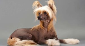 Chinese Crested Dog Breed Information – Powderpuff And Crested Dogs