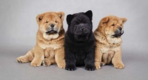 Chow Chow – The Complete Guide to an Increasingly Popular Pup