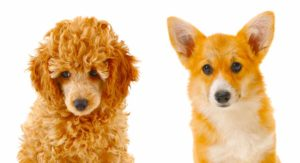 Corgipoo – A Guide to the Pembroke Welsh Corgi Poodle Mix