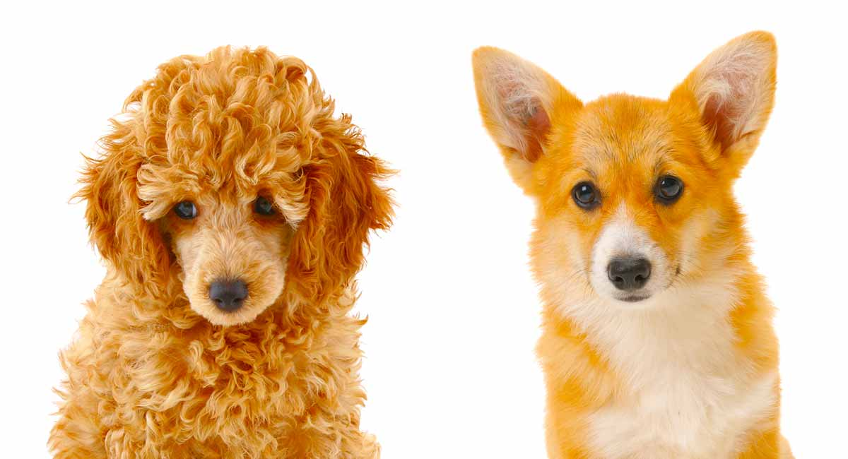 Corgipoo A Guide To The Pembroke Welsh Corgi Poodle Mix