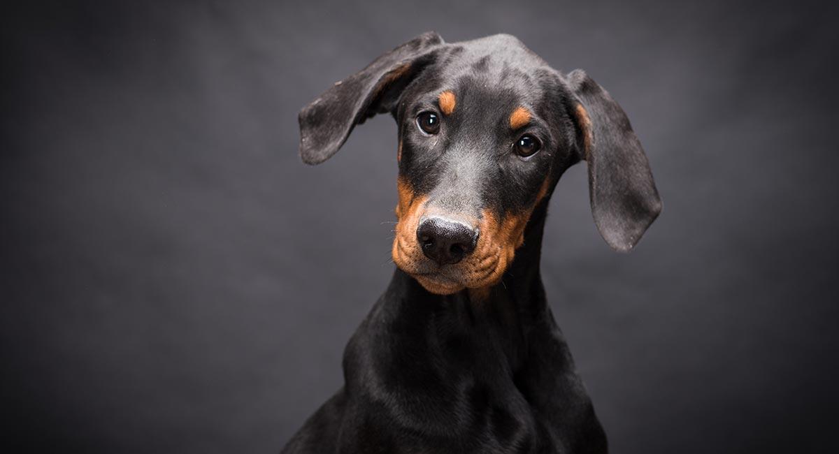 Doberman Pinscher Dog Breed Information Center