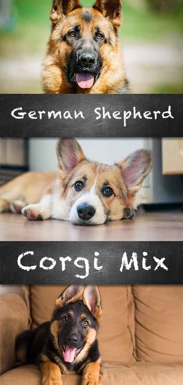 Corgi German Shepherd Mix Breed Information Center
