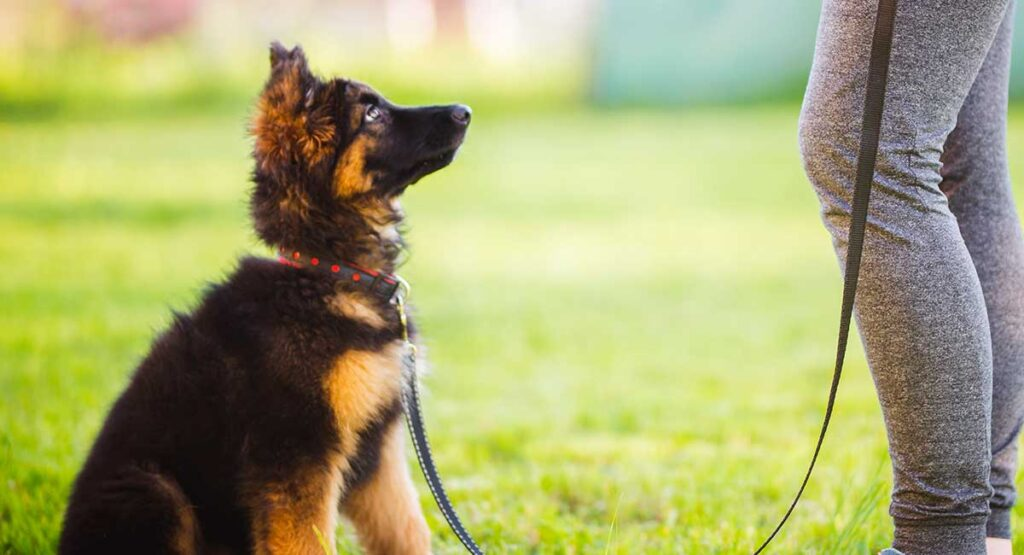 German Shepherd Sits On A Lead During Training
