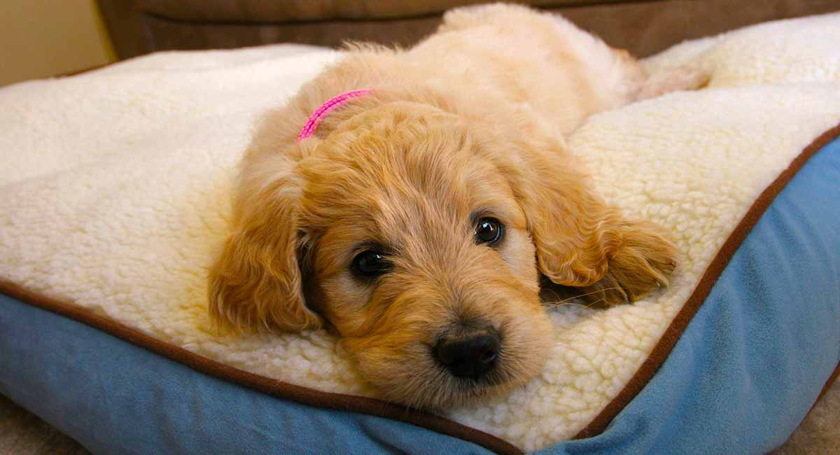Goldendoodle The Golden Retriever Poodle Mixed Breed