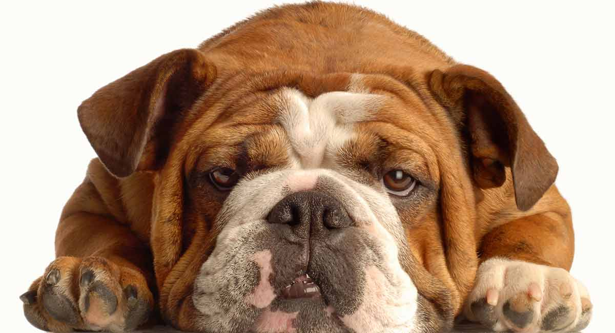 English Bulldog Lifespan