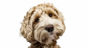Labradoodle Dog Information Center – Discover The Lab Poodle Mix Breed