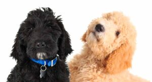 Labradoodle vs Goldendoodle: What Is The Difference Between Them?