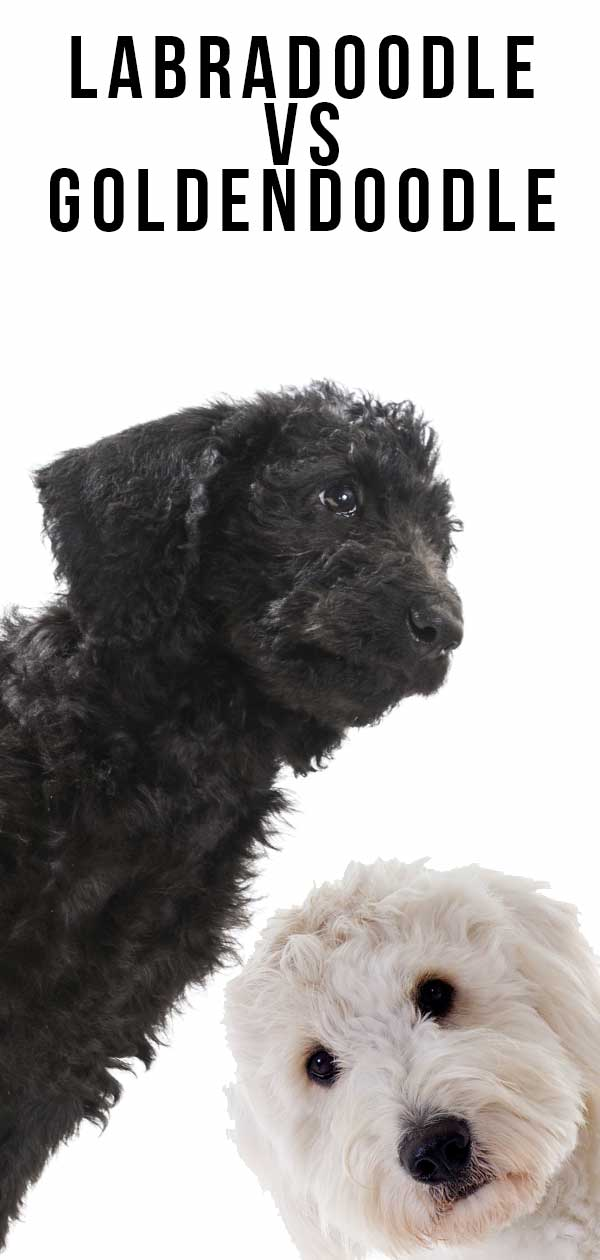 Labradoodle vs Goldendoodle: What Is The Difference Between