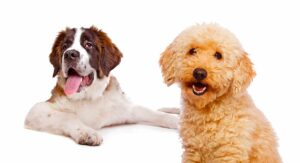Saint Berdoodle – The St Bernard Poodle Mix Breed Guide