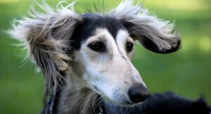Saluki Dog Information Center – The Beautiful Breed with Lightning Speed