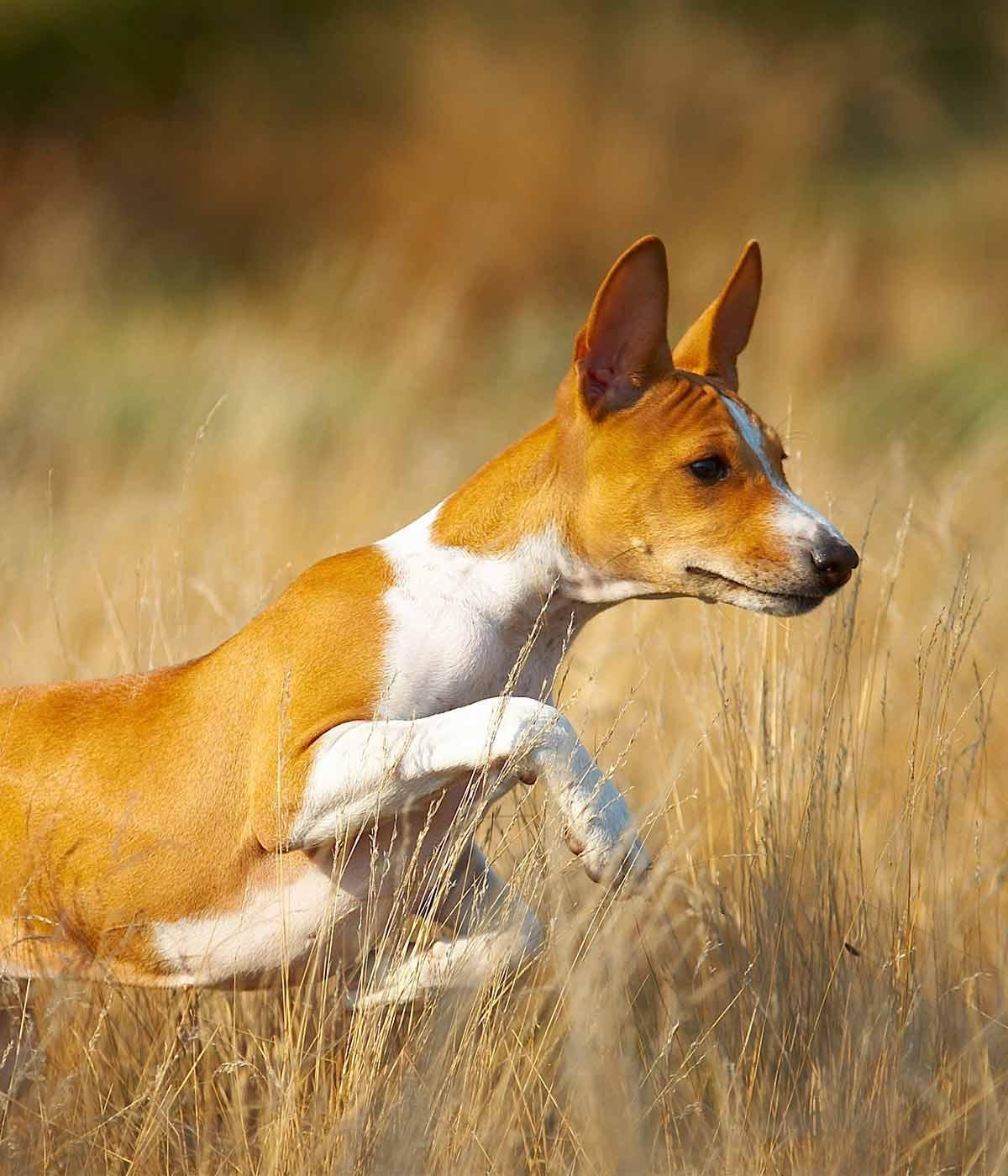 African dog breeds