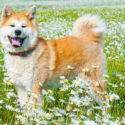 Akita: Powerful Guard Dog or Loyal Family Pet?