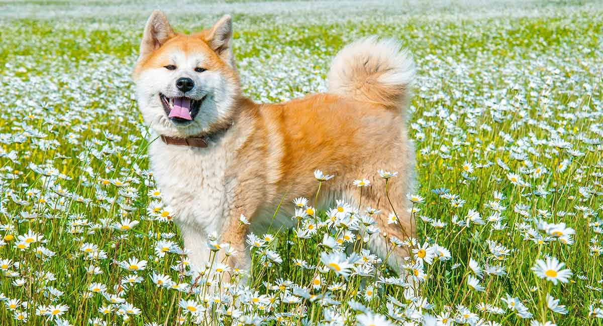 Akita Dog Breed Information Center A