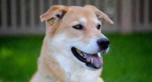 Akita Lab Mix – Great Family Pet or Loyal Guard Dog?