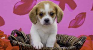 Beaglier – The Beagle Cavalier King Charles Spaniel Mix