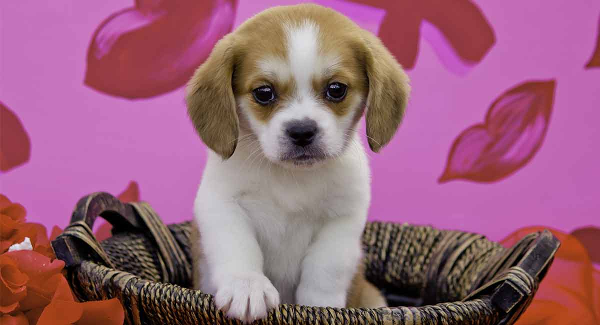Atemberaubend Introducing the Beaglier - A Cavalier King Charles Spaniel/Beagle @LY_16