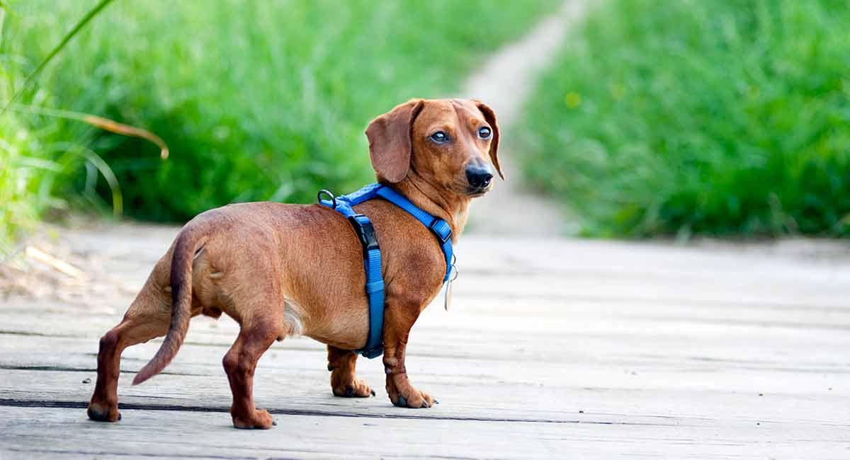 best dachshund harness