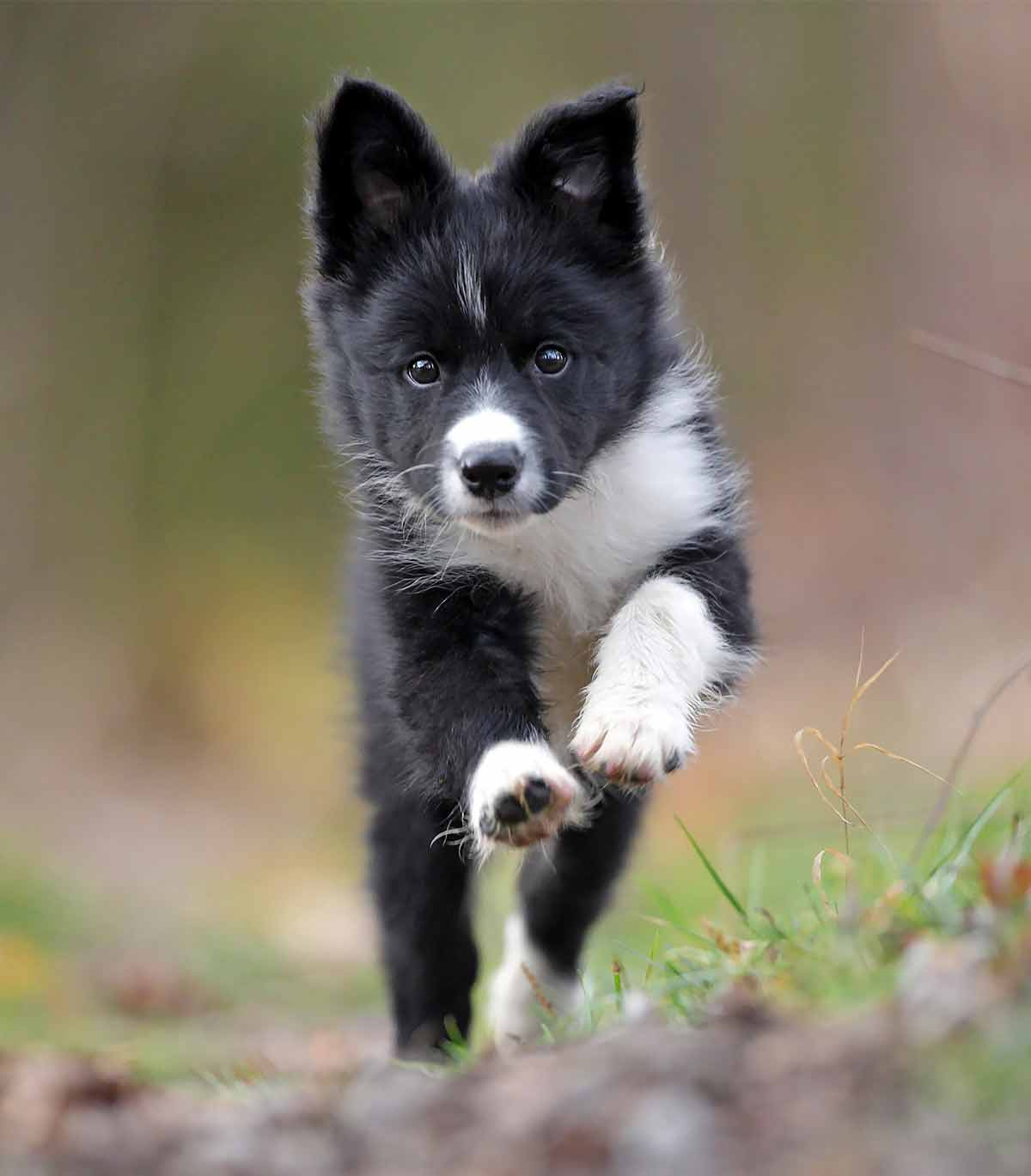 best food for border collie puppies