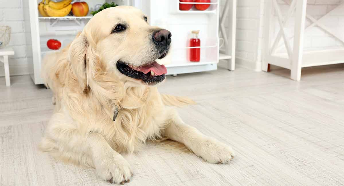 best dog food for golden retrievers