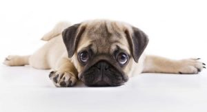 Best Food for Pug Puppies: Tasty, Healthy Choices