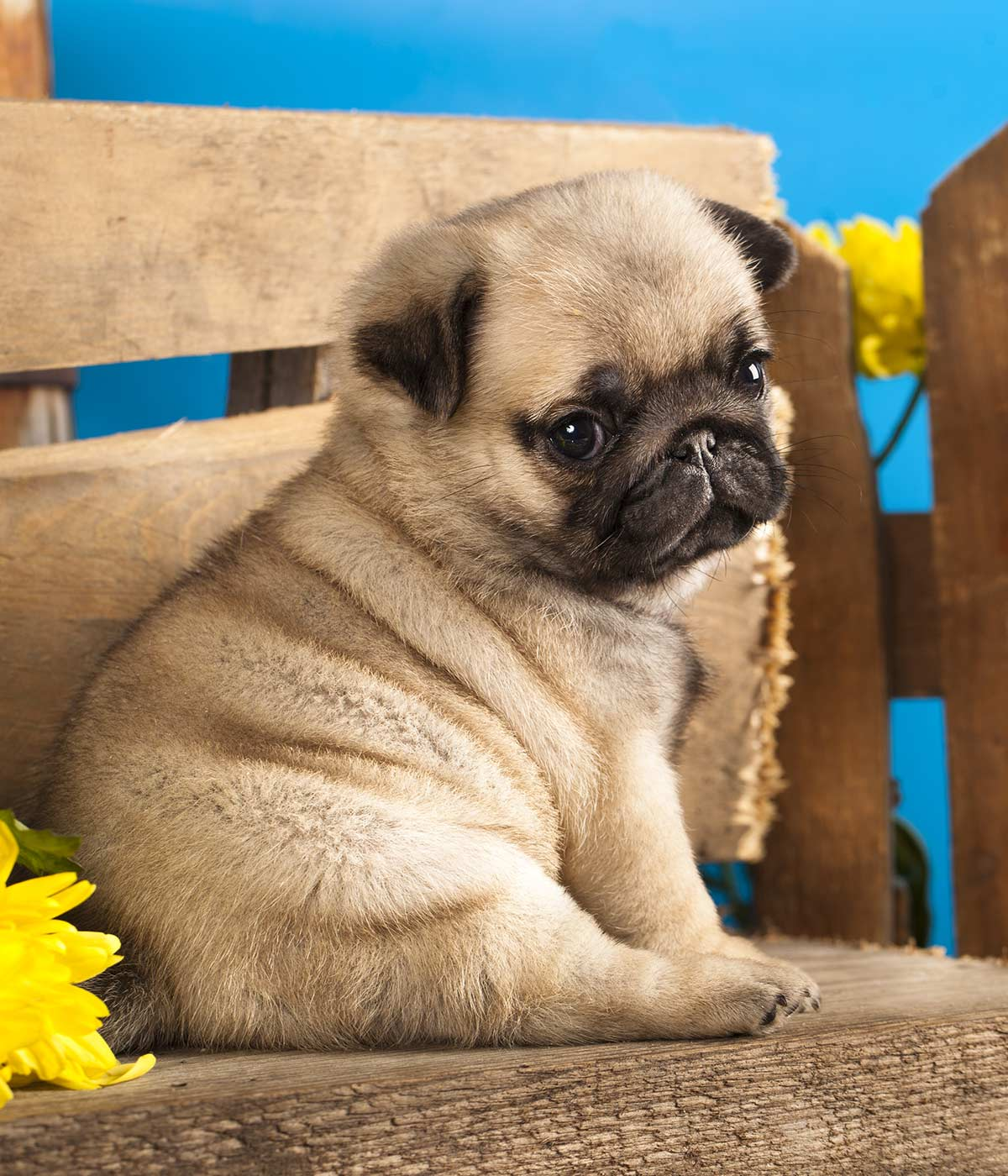 best food for pug puppies