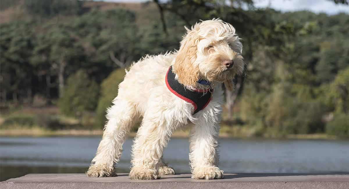 best harness for a cockapoo