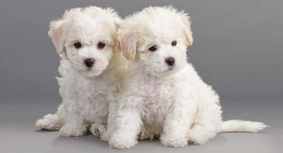 Learn more about the Bichon Frise