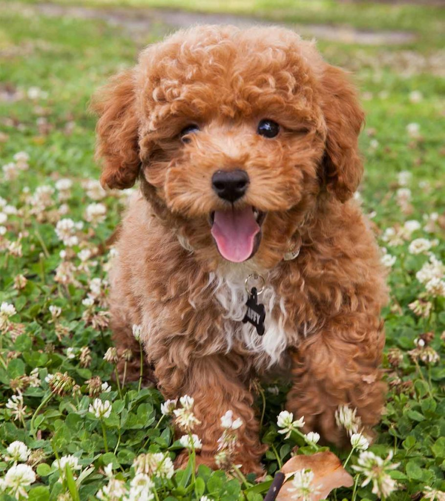 Bichon Poodle Mix The Bich Poo Teddy Bear Puppy