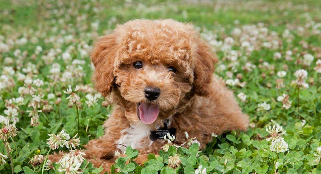 Find out more about the Bichon Poodle mix.