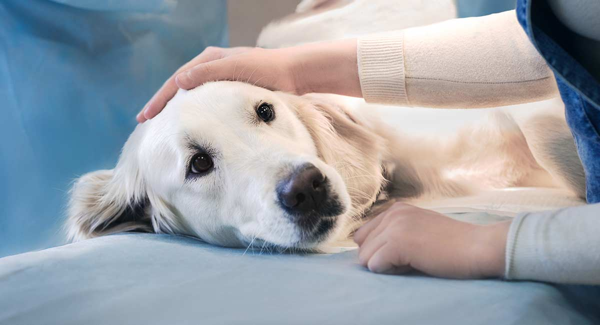cataract surgery for dogs