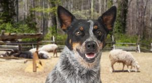Cattle Dog Breeds – The Coolest Cattle Dogs From Around The World