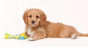 Cavapoo – The Cavalier King Charles Spaniel Poodle Mix