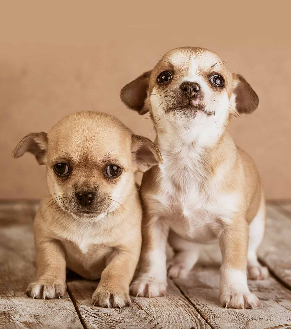 300 Adorable Chihuahua Dog Name Ideas