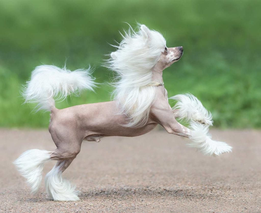 In this guide, we'll take you through everything that you need to know about the Chinese crested hairless dog as well as the Chinese crested powder puff dog, including the breed's general size, expected temperament, grooming requirements (or lack thereof), suitability as a family pet, common health concerns and how to select your own Chinese crested puppy.