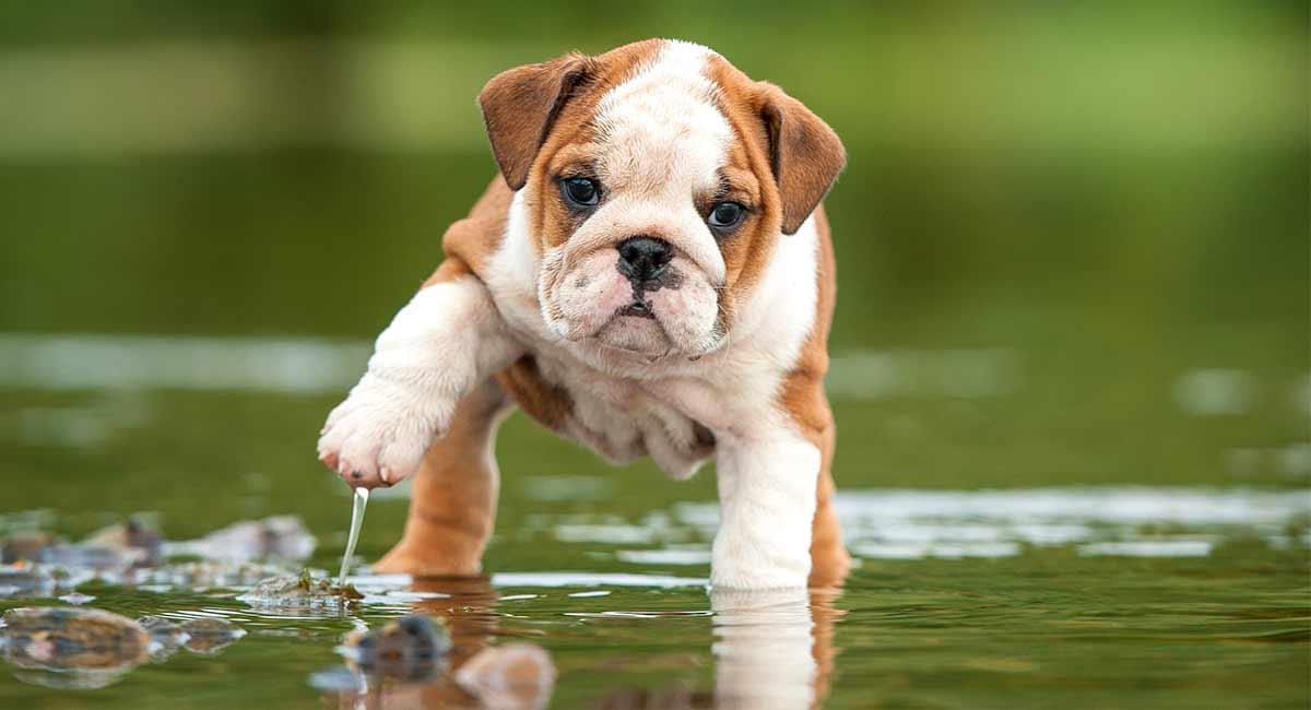 english bulldog temperament